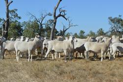 sheep flock.jpg
