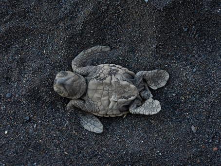 Tartarugas Marinhas na Baía do Inferno já estão na literatura científica