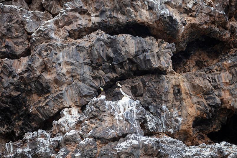 Casal de alcatrazes ao pé do ninho, nas falésias da Baía do Inferno.