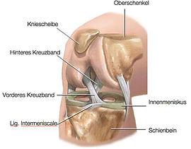 Anatomie Kreuzband