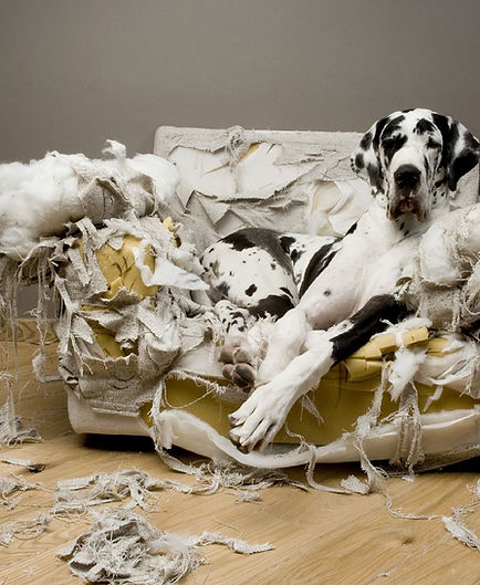 great_dane_torn_couch.jpg
