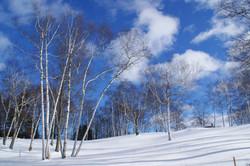 Silver birches, Vermont, US