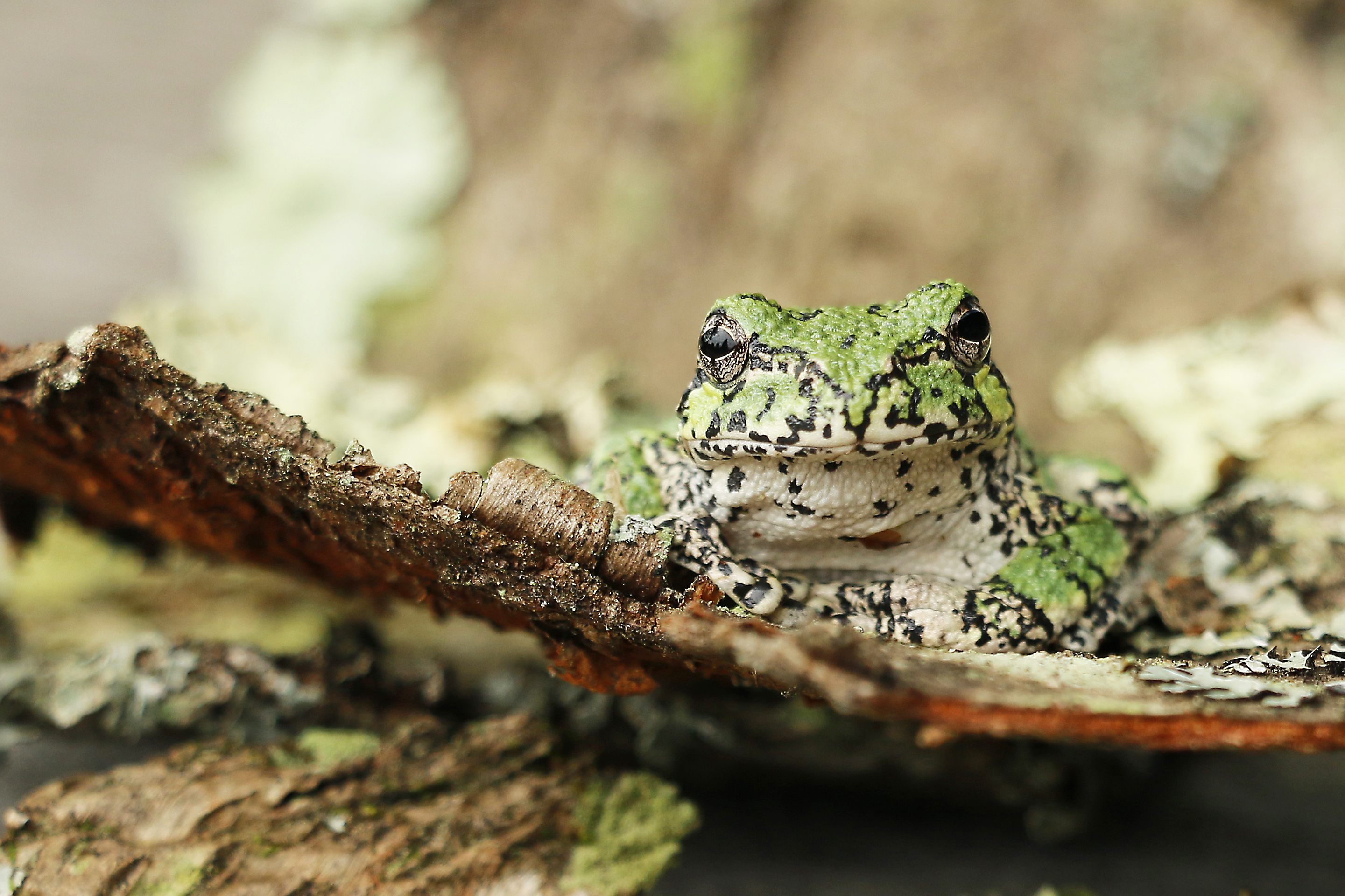 Gray tree frog, Vermont USA