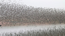 Wader Spectacular - tens of thousands of knots move off the Wash, Norfolk, UK