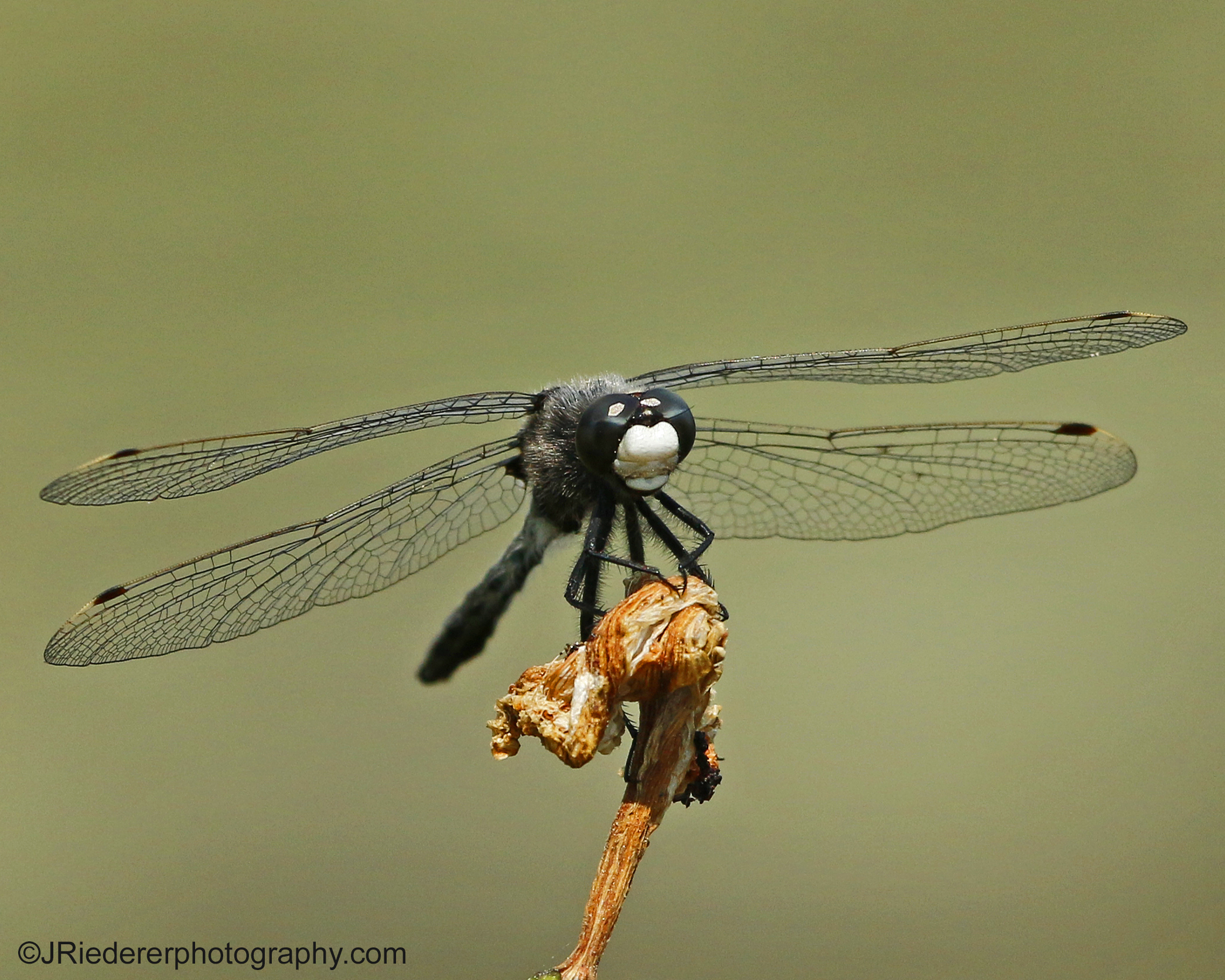 Dot tailed White faced Dragonfly