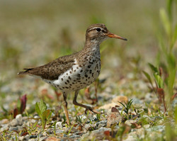 A Serious Spotted Sandpiper