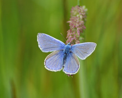 Common Blue, England