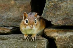 Cheeky Chipmunk, Vermont