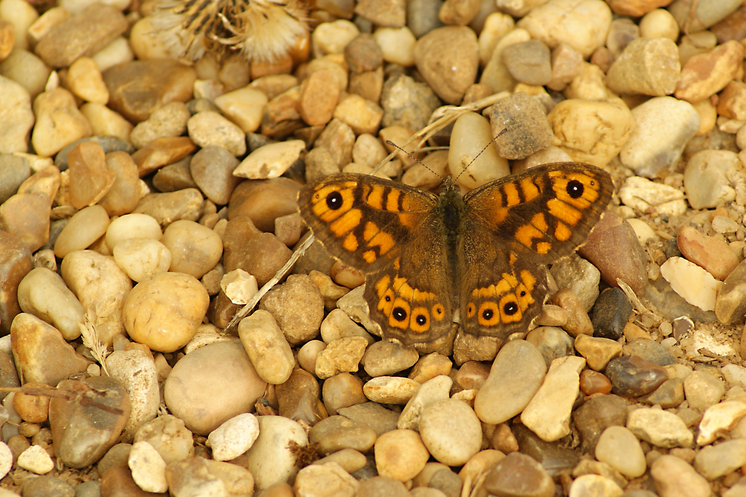 Wall Brown, England