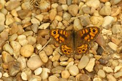 Wall Brown, England
