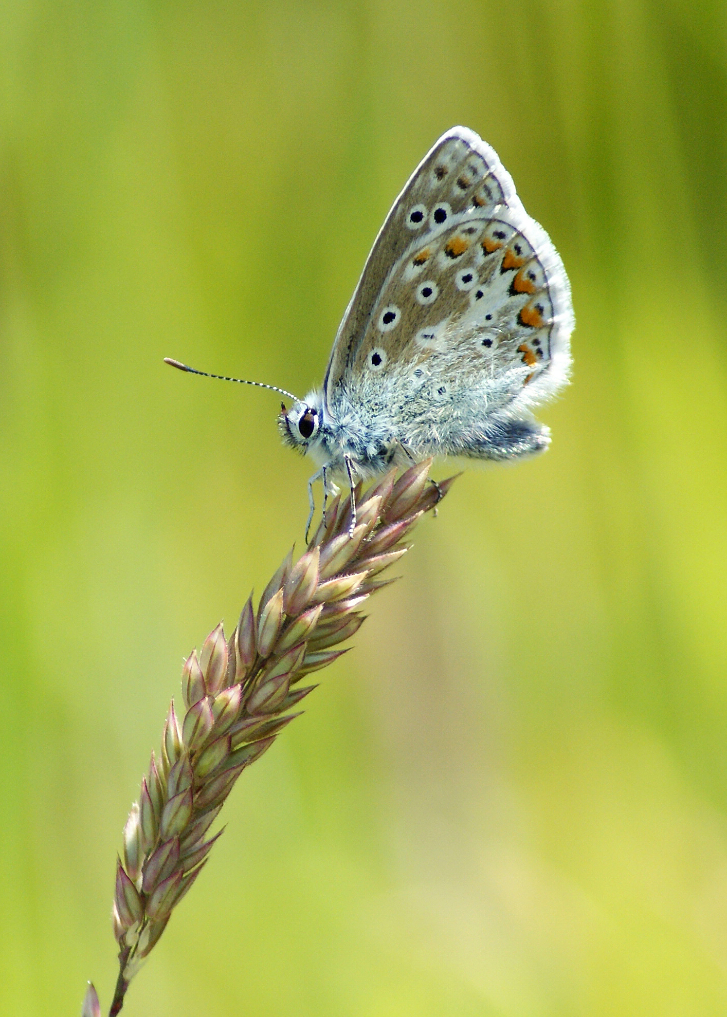 Common Blue, England