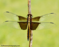 Widow Dragonfly, Vermont