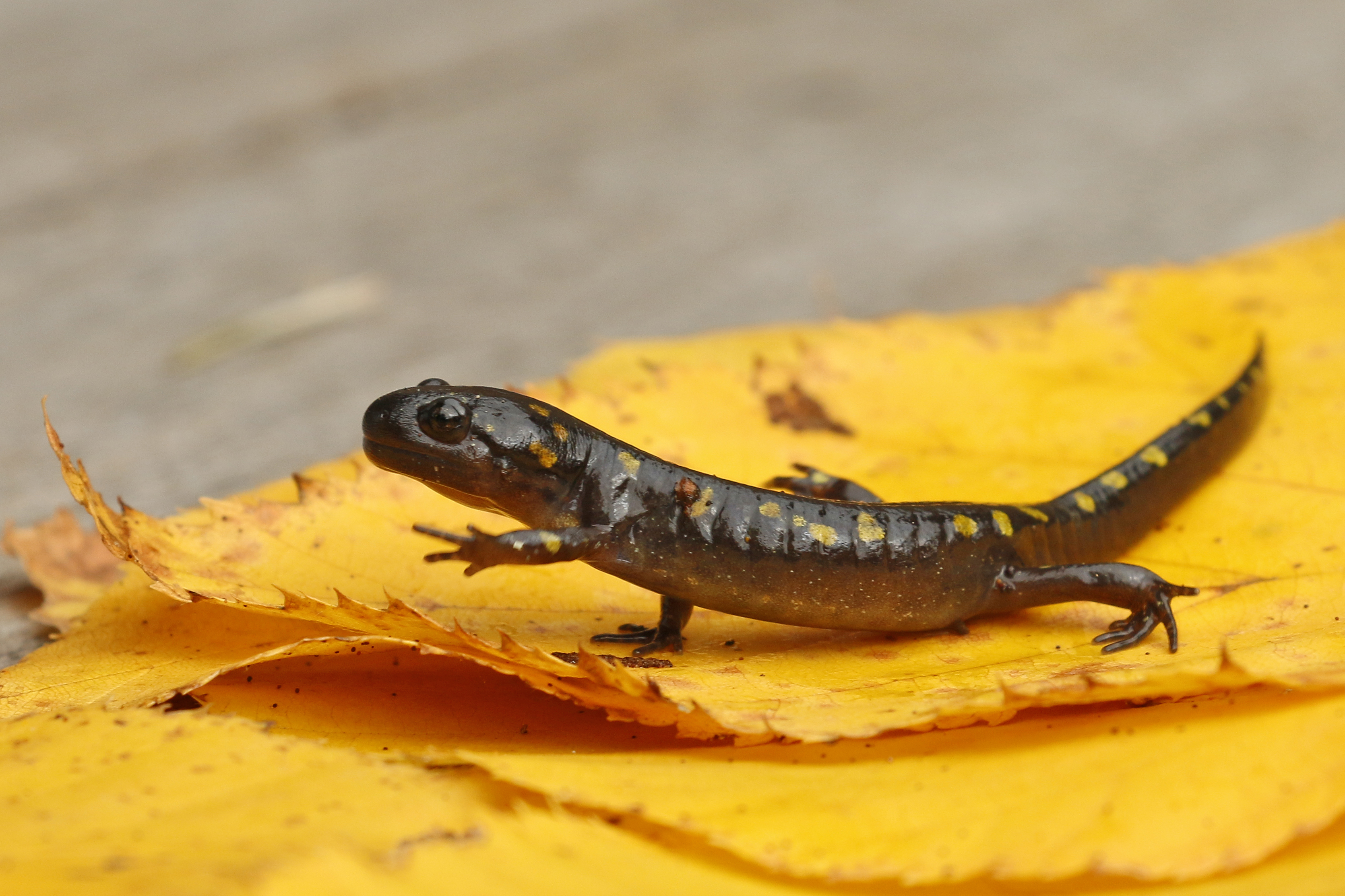Spotted salamander, Vermont