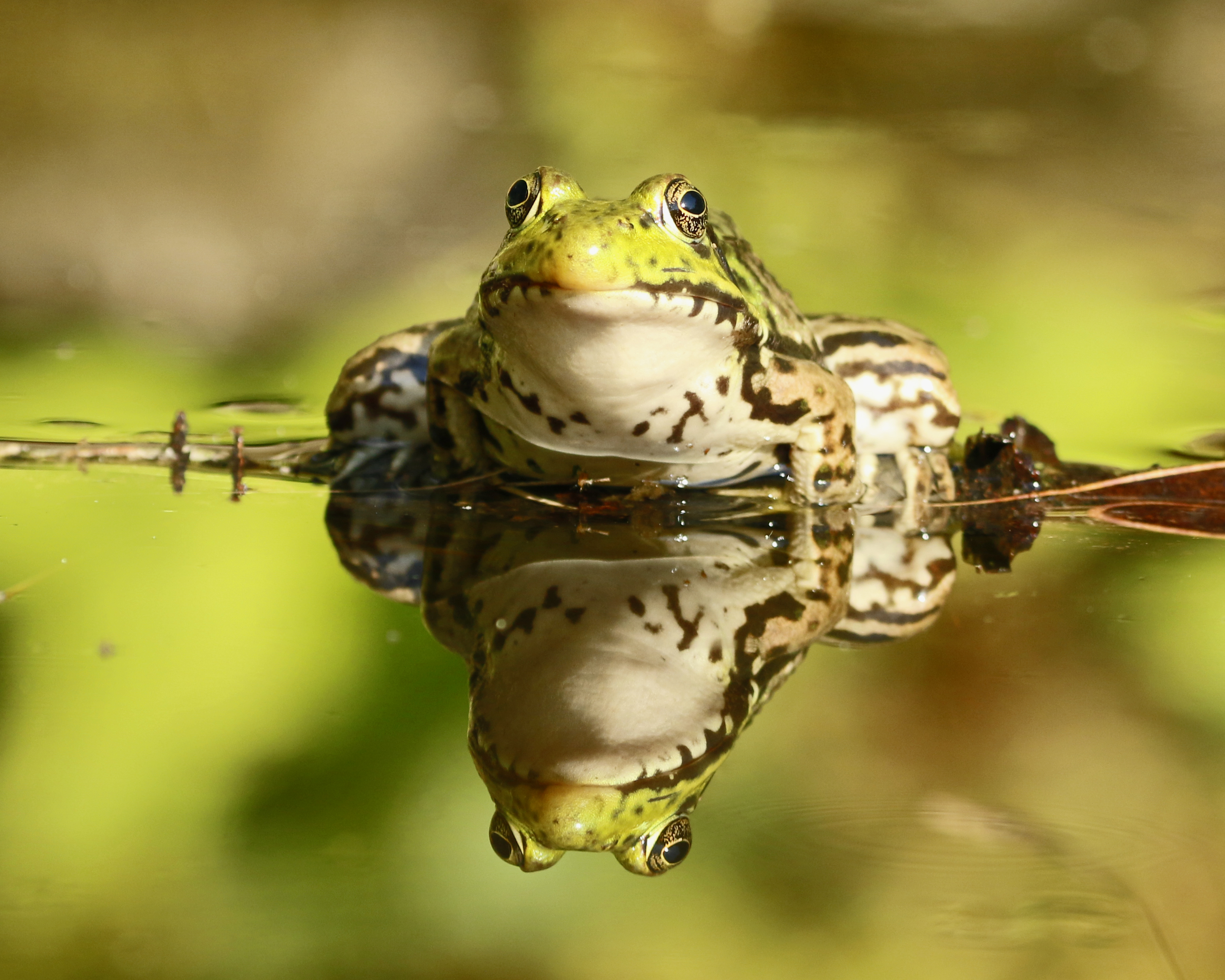 Froggy Reflections