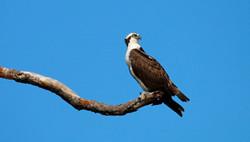 Blue Sky Osprey