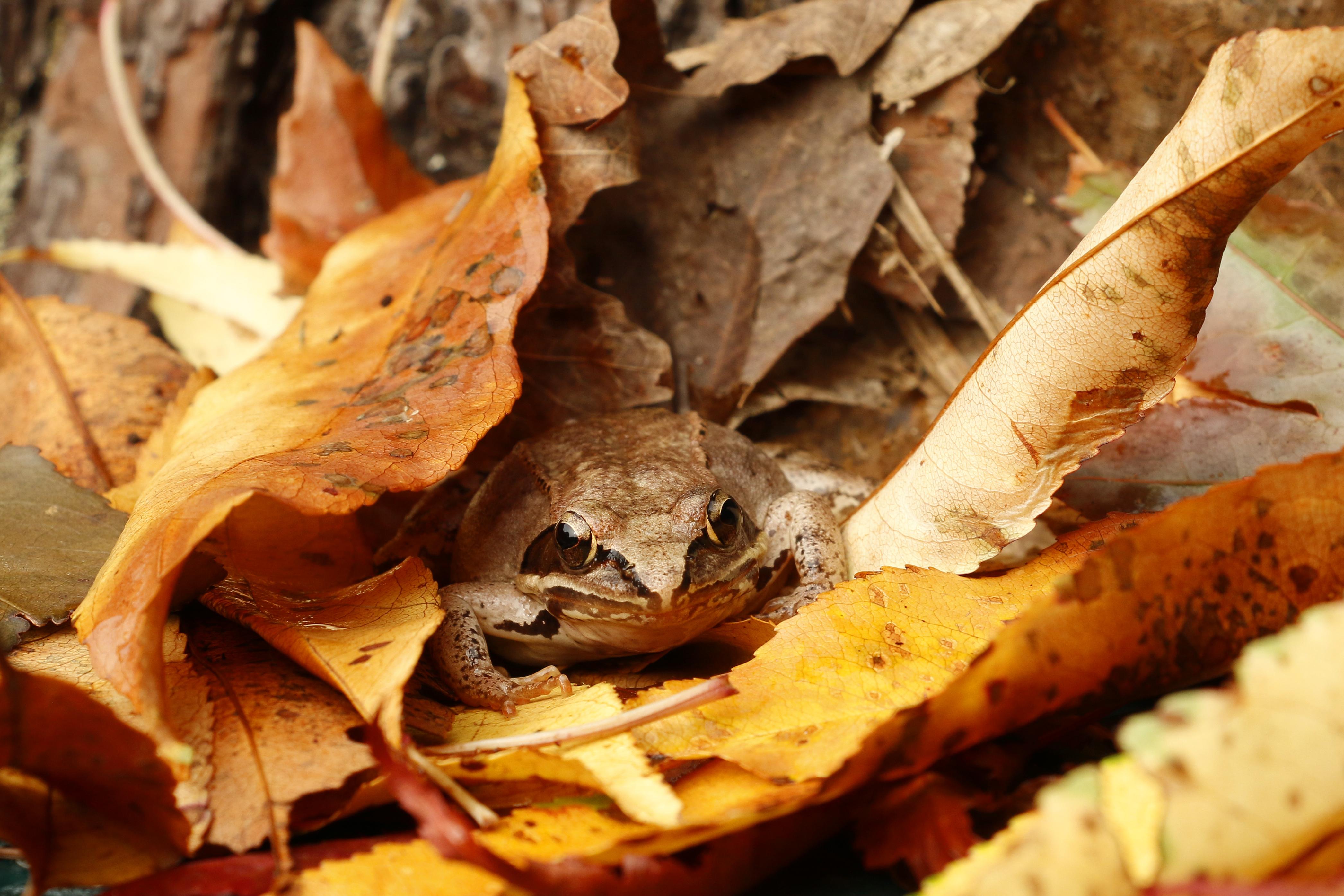 Woodfrog Camouflage