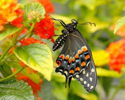 Black Swallowtail, USA
