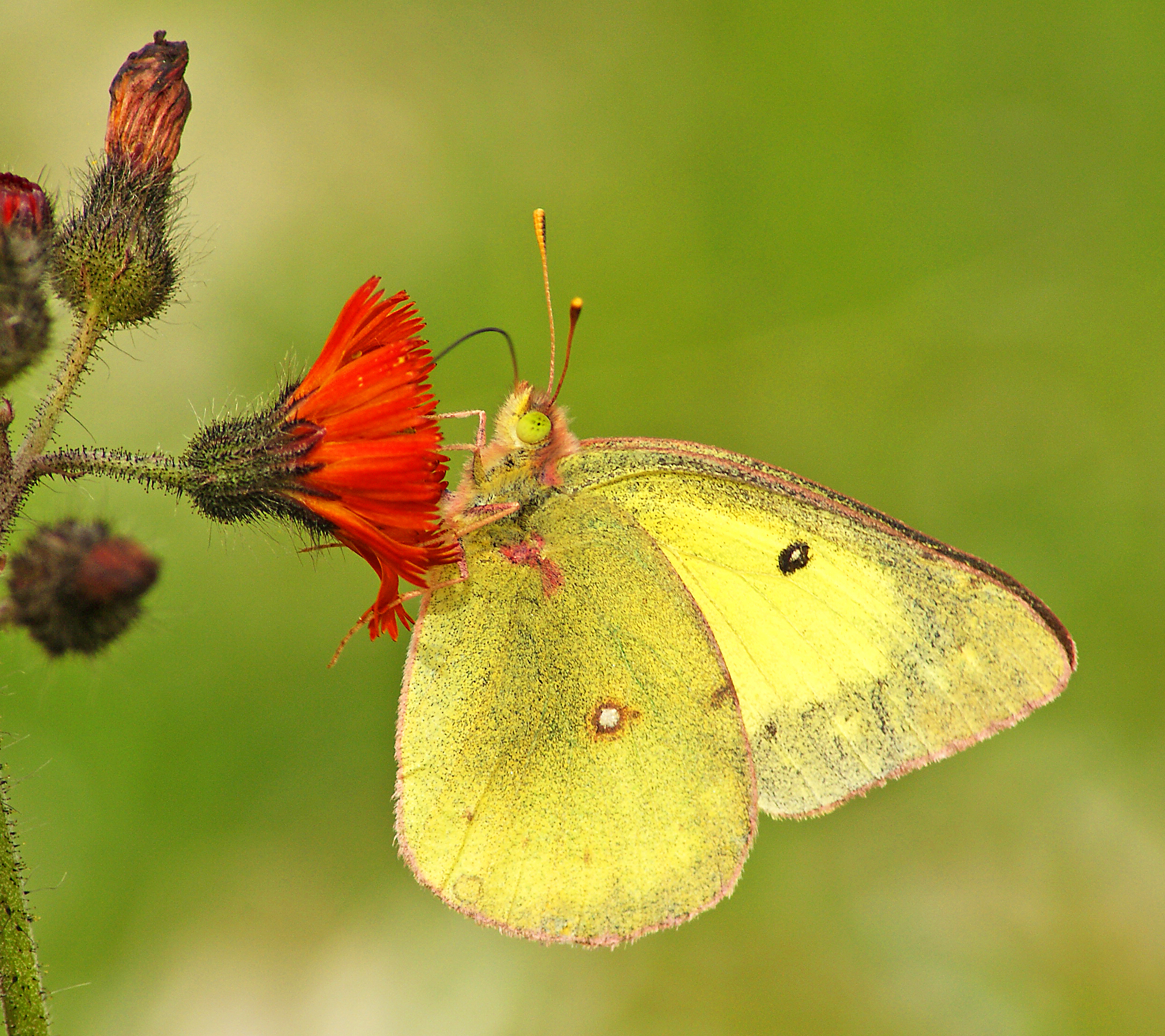 Clouded Sulphur, USA
