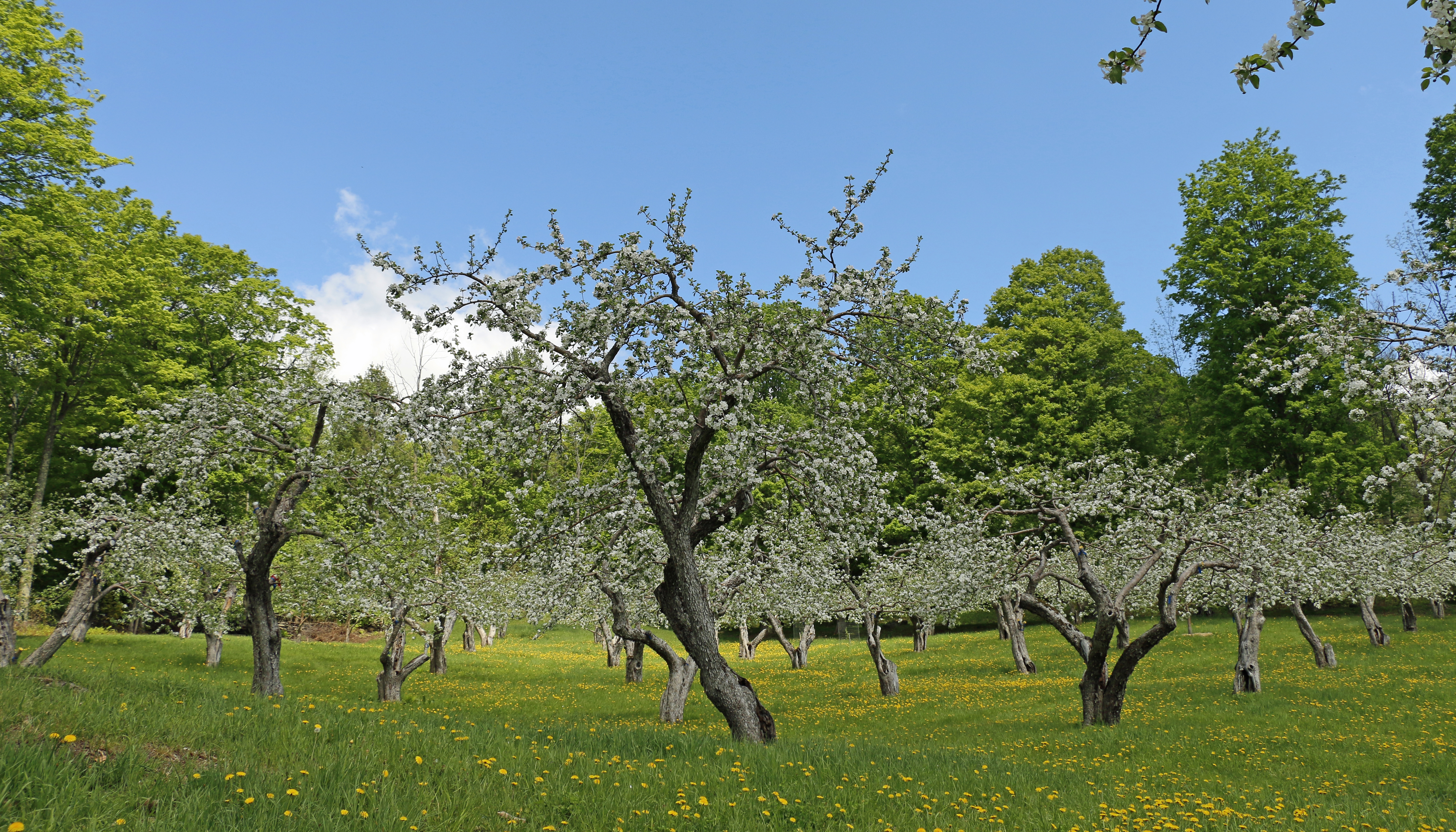 Apple Orchard in Bloom, Vermont