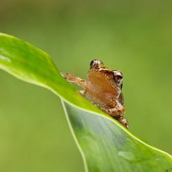 8 x 8 tree frog c