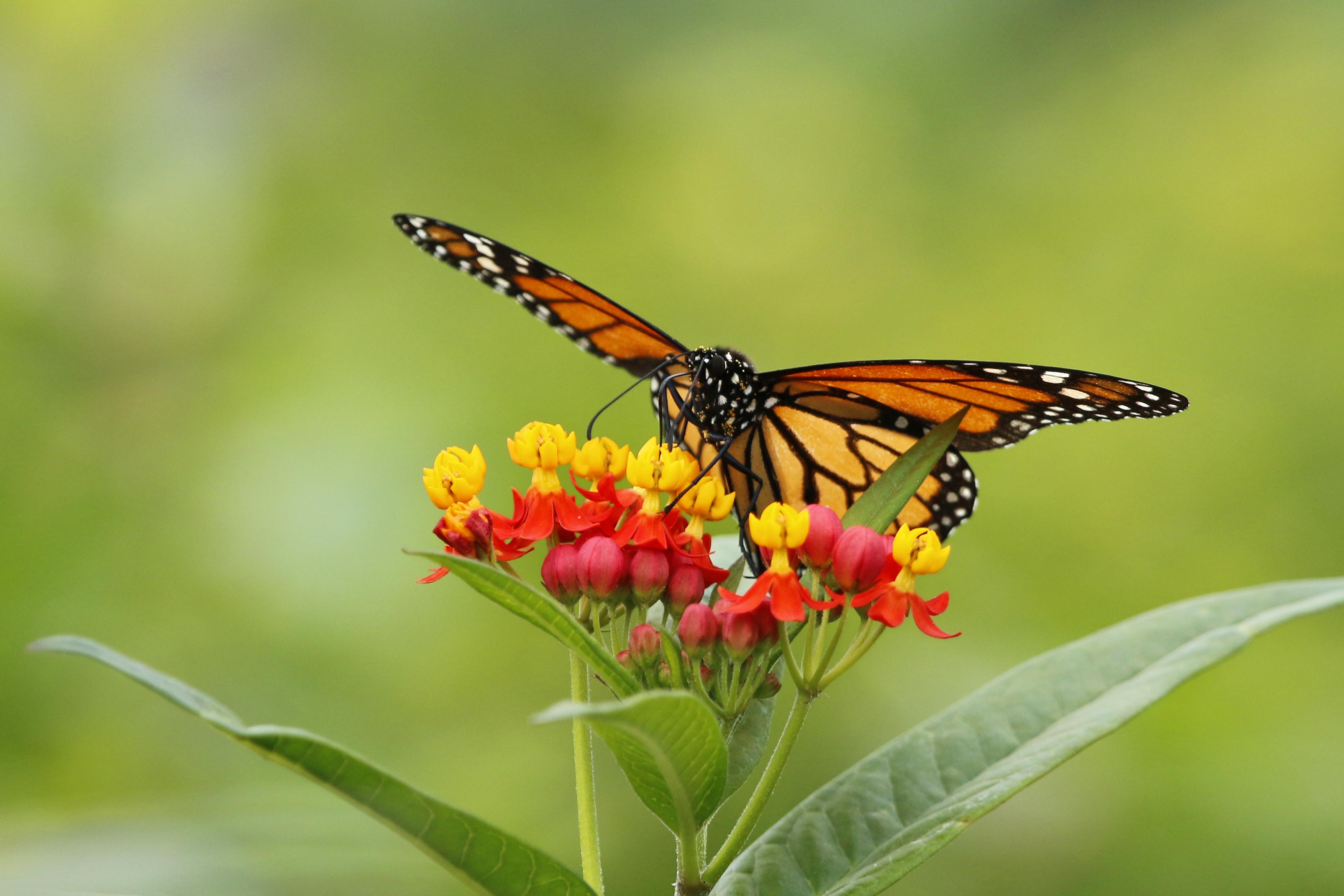 monarch dec 2 c