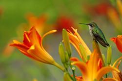A Jewel amongst Lilies