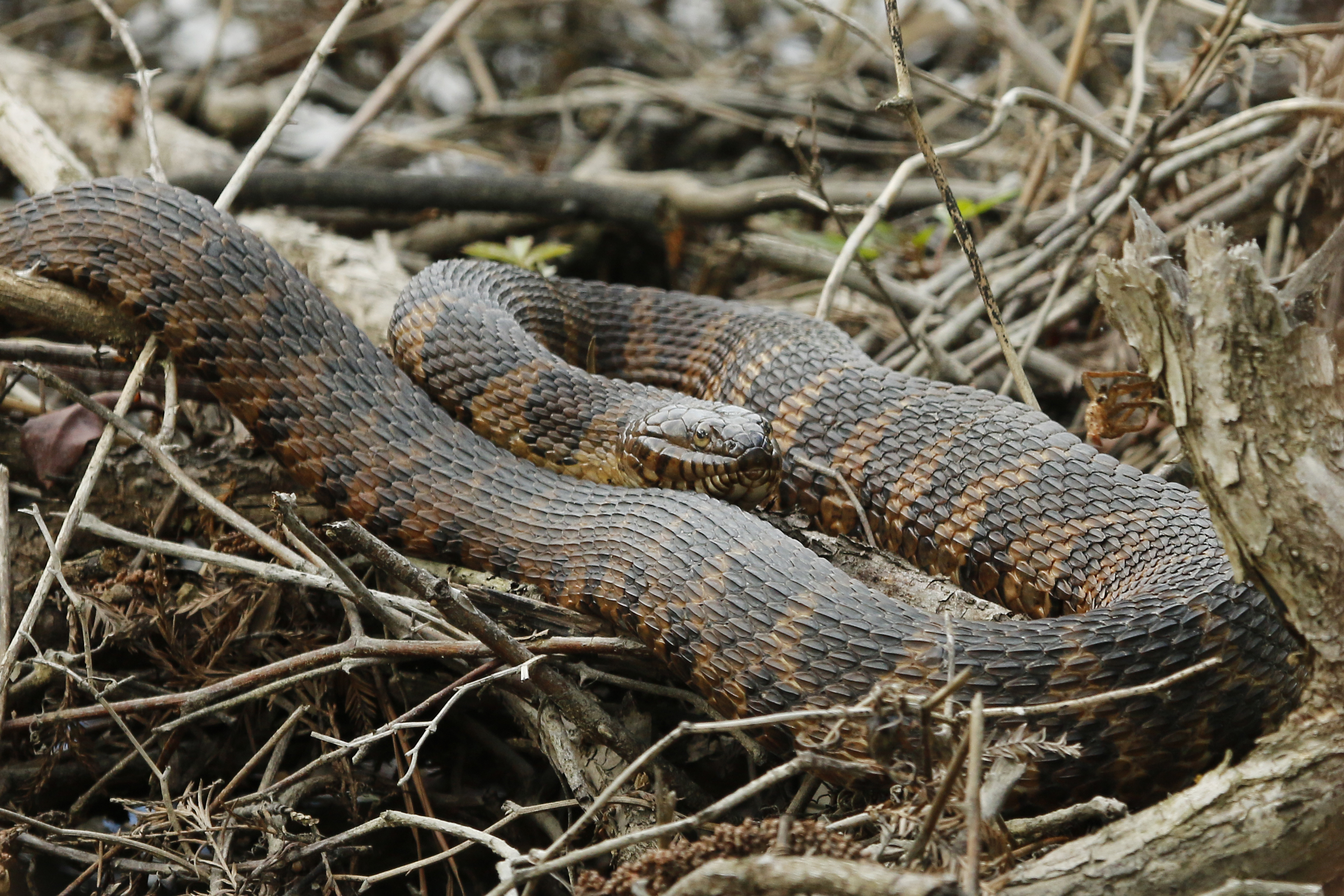 Eastern brown water snake, NC