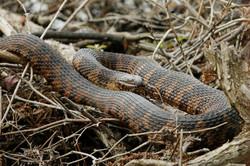 Eastern brown water snake, NC
