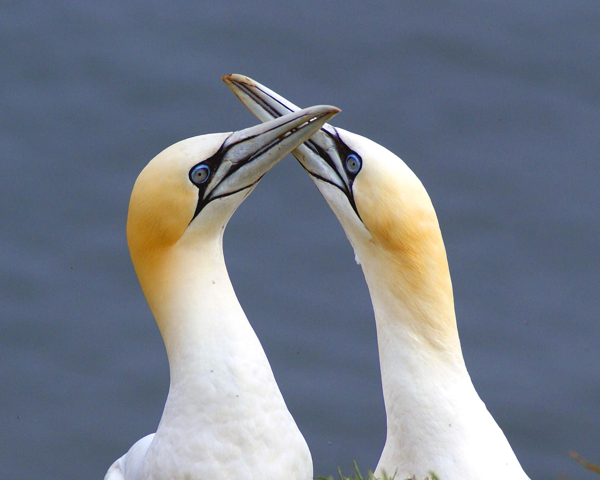 Gannet Love