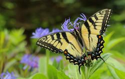 Eastern Tiger Swallowtail, USA