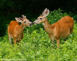 White tailed deer kisses!
