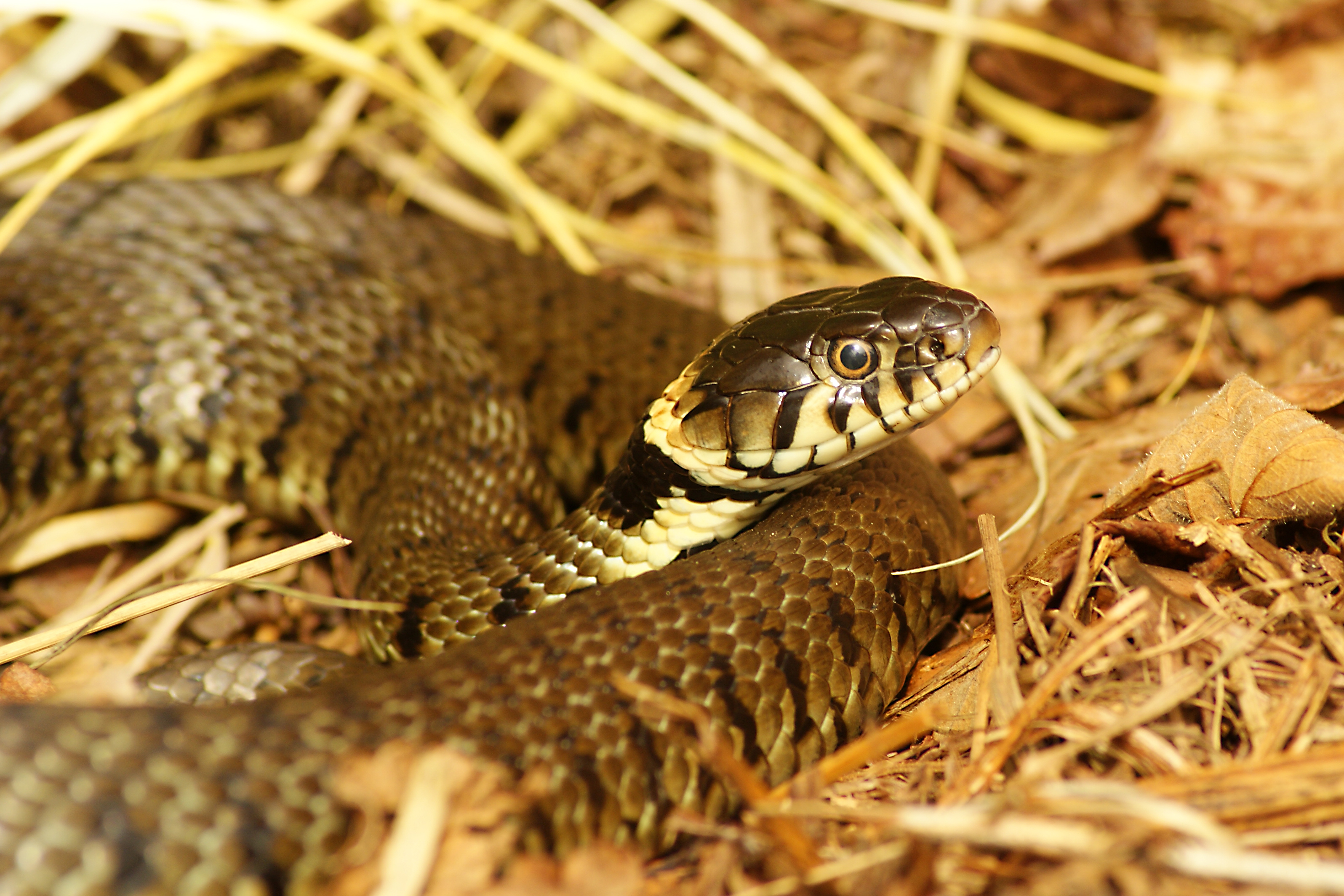 Grass snake, Norfolk, England