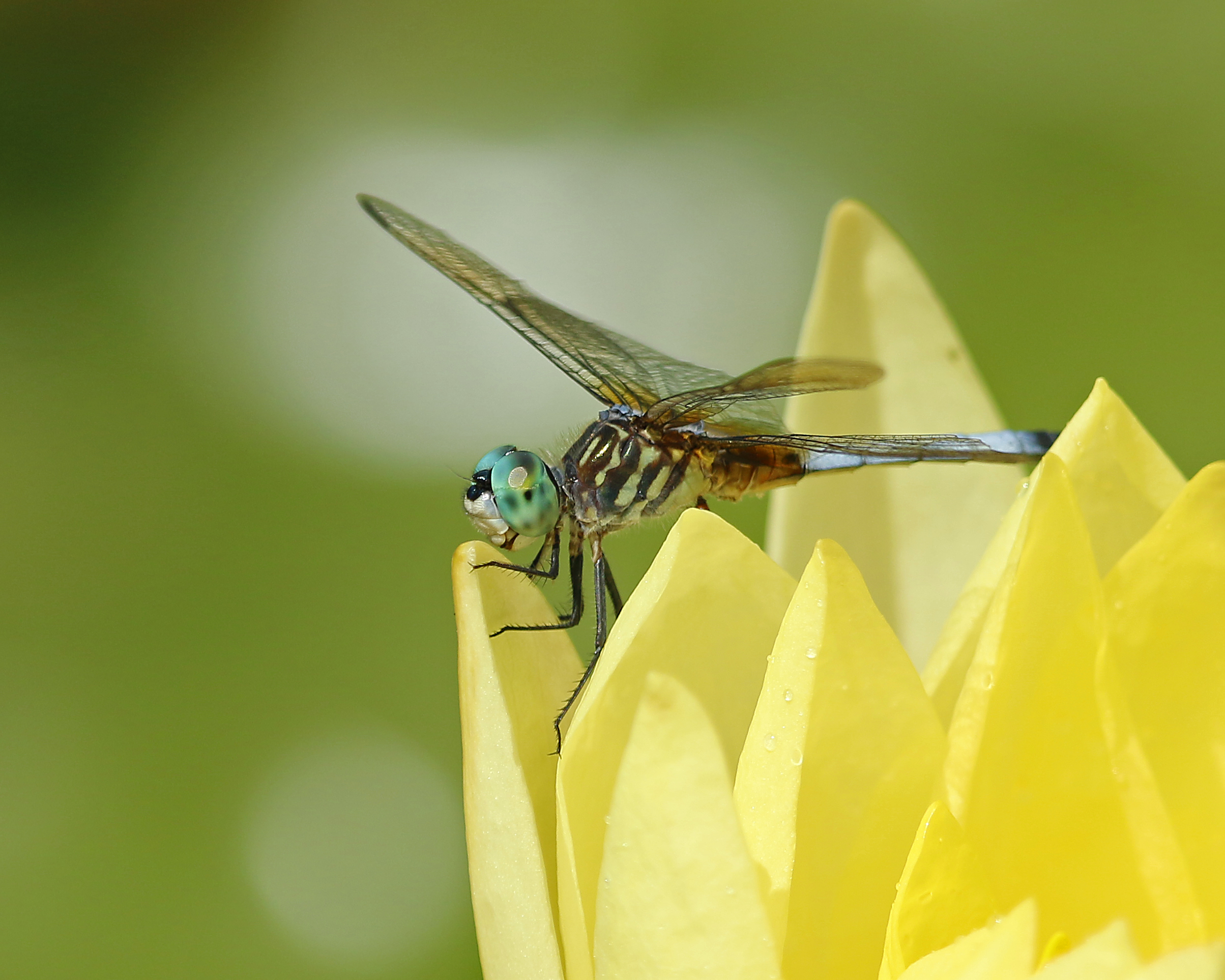 Blue dasher, Bermuda