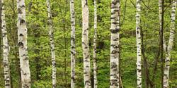 Spring birches, Vermont, USA
