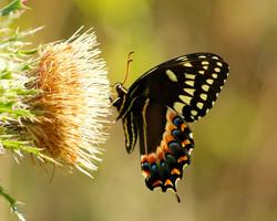 Black swallowtail Spring