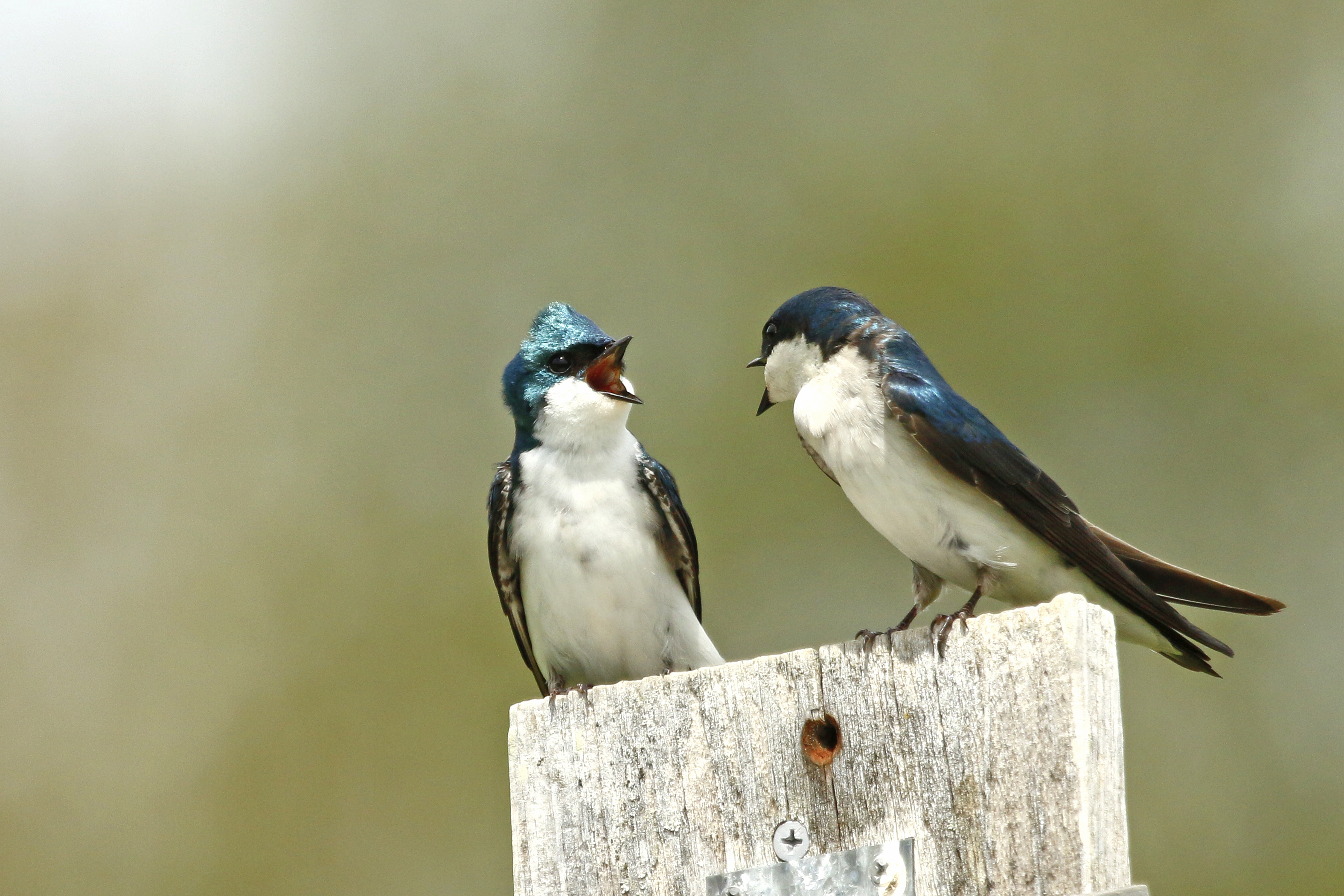 Tree swallow chatter