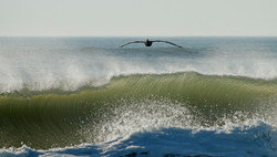 Pelican and Big Surf