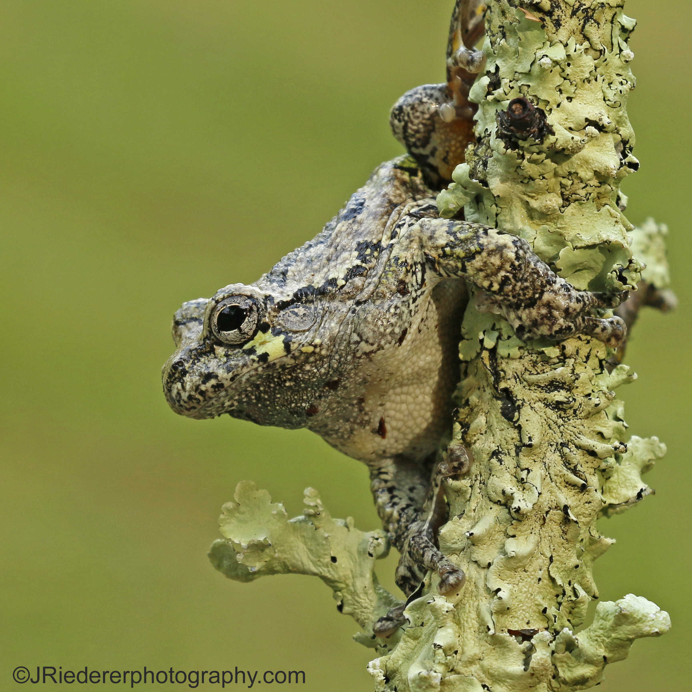 Grey Treefrog Cuteness!