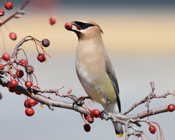 A Berry for me, Cedar Waxwing