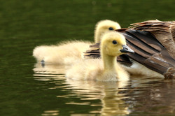 Not an Ugly Duckling