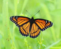 Monarch, USA