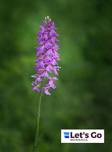 Wild Orchid Menorca.JPG
