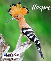 Hoopoe Menorca Bird.JPG