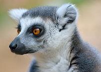 Lemurs Menorca Zoo.JPG