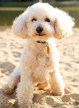 AKC miniature poodle TF goldendoodles