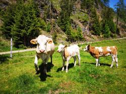 Kühe auf der Griebitsch Alm in Kärnten