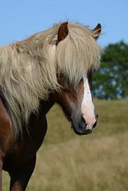 Hadvör von Haus der Pferde (IS)