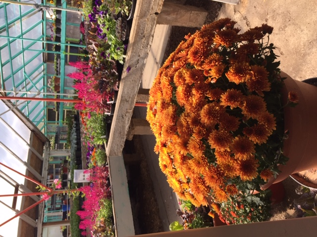 Fall Mums as well as other Fall Annuals