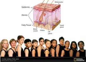 A variação da cor da pele humana
