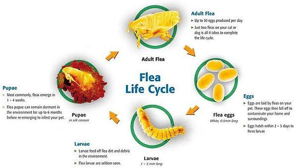 Flea life cycle.jpg